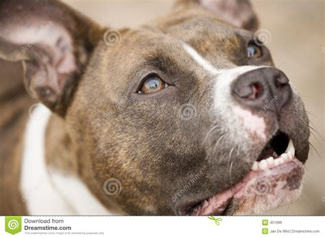 American Stafford Terrier Royalty Free Stock Image - Image