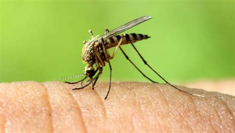 The Bare Truth About Mosquitoes